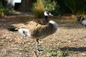 Taken at Lake Elizabeth in Fremont, CA. This Canada Goose really does have only one leg, but it seemed to be getting along just fine despite its handicap!