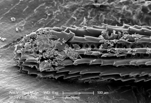 This SEM image shows the remains of a Lytechinus urchin spine after being predated upon by a spider crab.